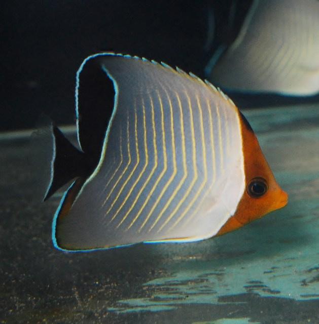 red-sea-larvatus-butterflyfish.jpg