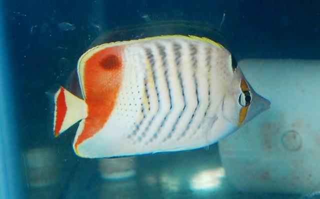 red-sea-pearlscale-butterflyfish.jpg