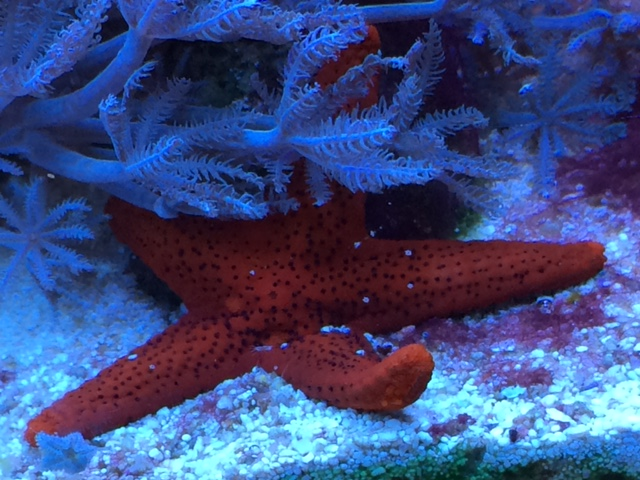 Red Starfish.JPG