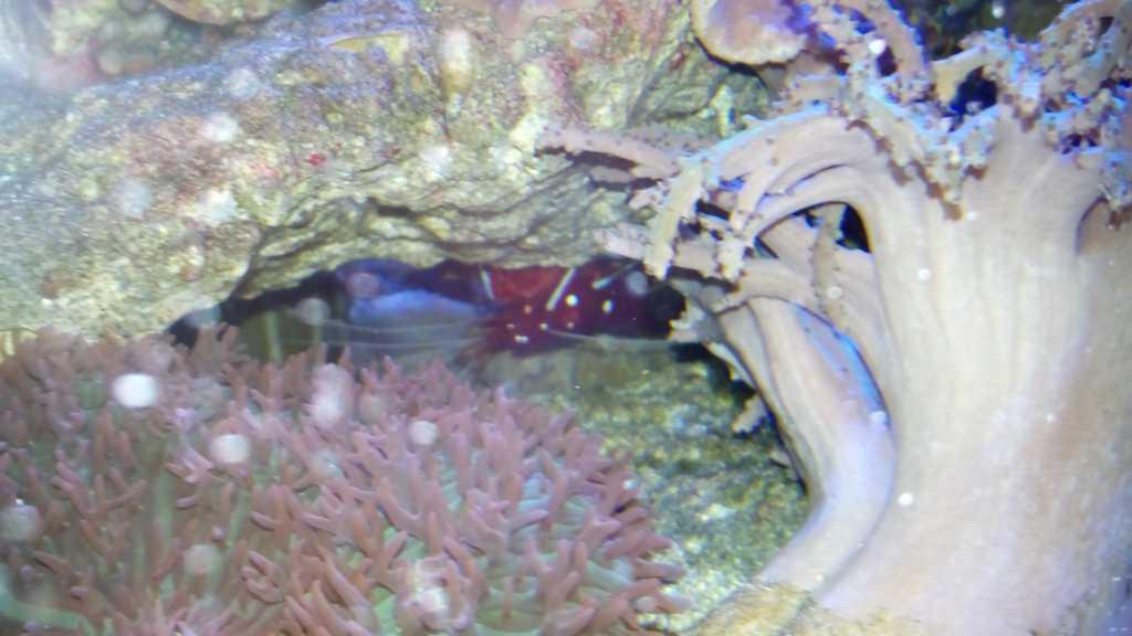 Ref fire shrimp.jpg