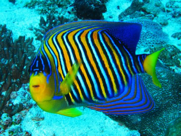 regal-angelfish-colin-knight.jpg