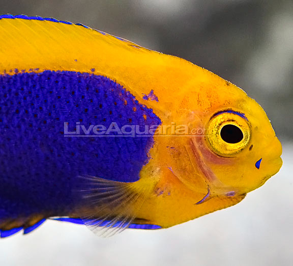 resplendent-cherubfish-2.jpg