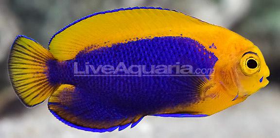 resplendent-cherubfish-4.jpg