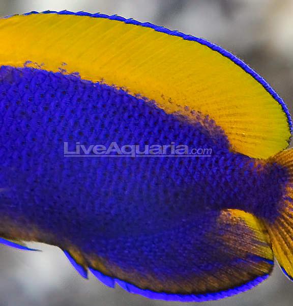 resplendent-cherubfish-5.jpg