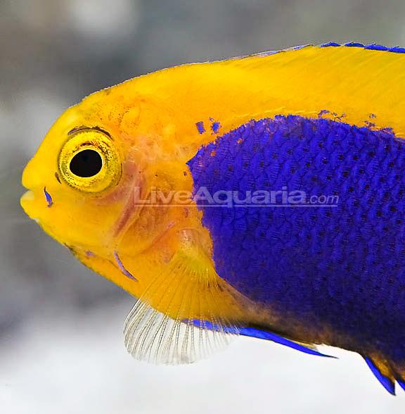 resplendent-cherubfish-6.jpg