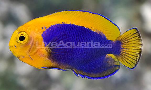 resplendent-cherubfish-8.jpg