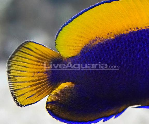 resplendent-cherubfish.jpg