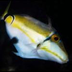rhinecanthus-cinereus-juvenile-150x150.png