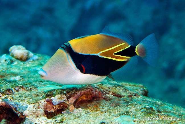 rhinecanthus-rectangulus.jpg