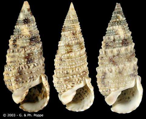Rhinoclavis_sinensis_3_zpsaf2ejadp.JPG