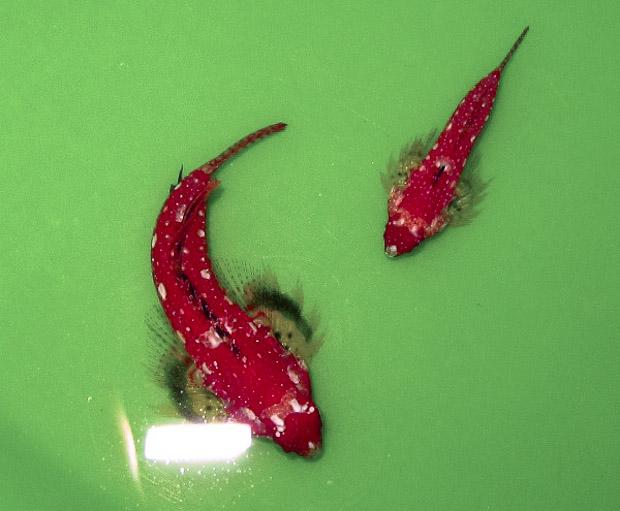 ruby-red-dragonet-3.jpg