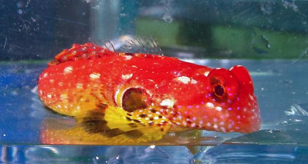 ruby-red-dragonet-4.jpg