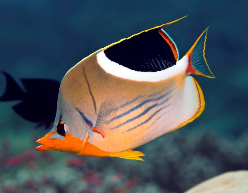 saddled_butterflyfish.jpg