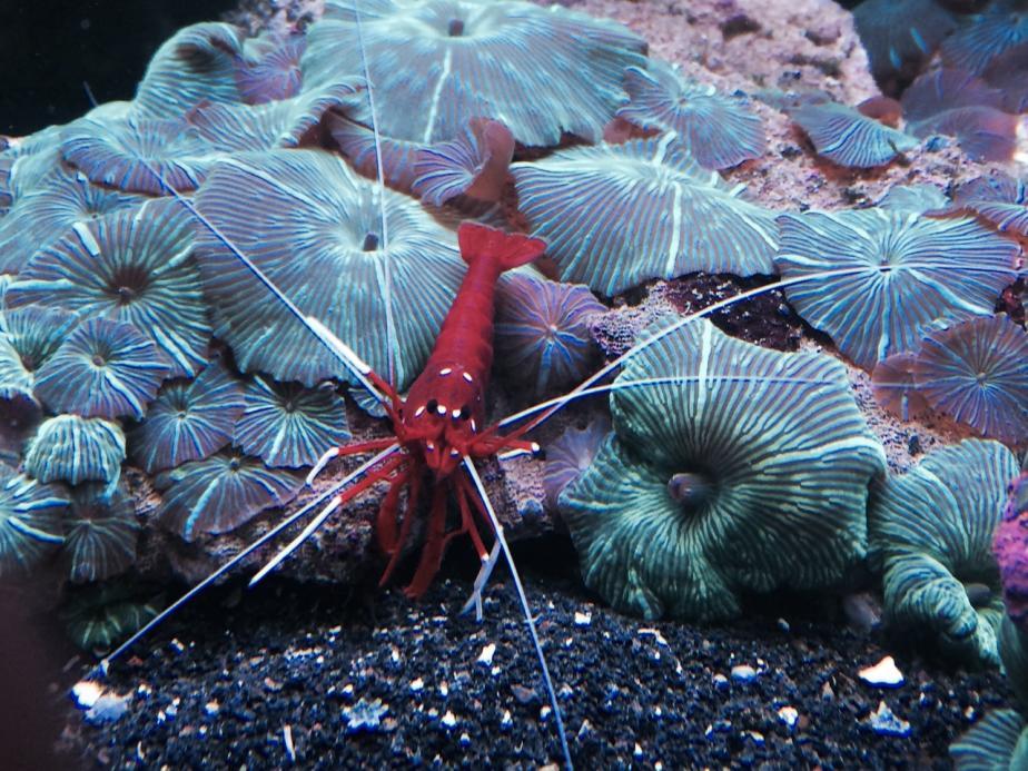 Scarlet Shrimp.jpg