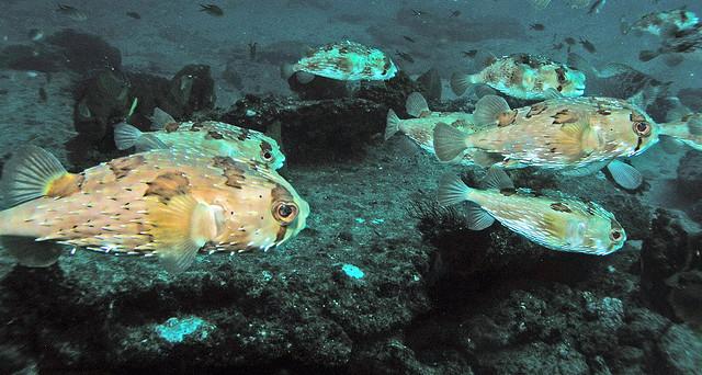 schooling-porcupinefish.jpg