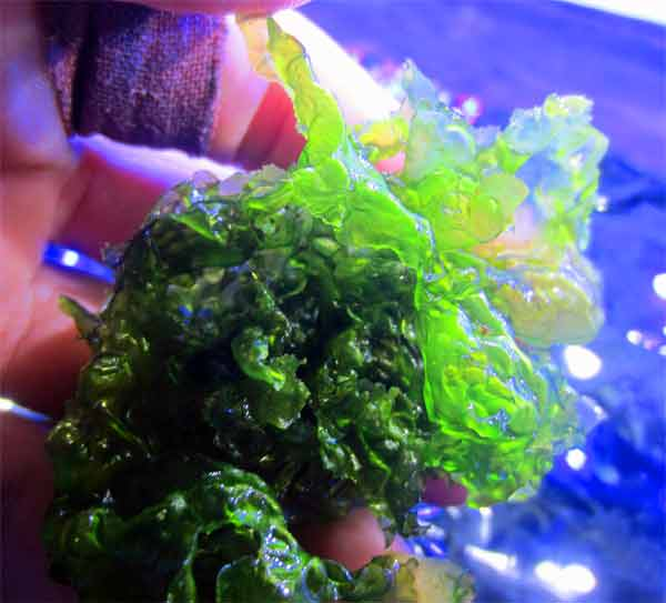 sea-lettuce.jpg