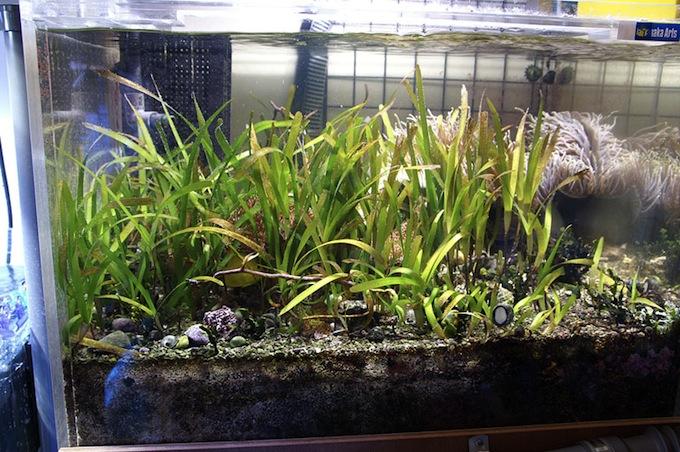 Seagrass_Japan21.jpg