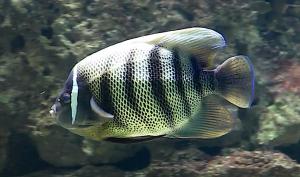 sixbar-angelfish-nancy-300x177.png
