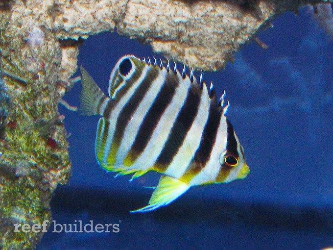 small-multibar-angelfish-2.jpg
