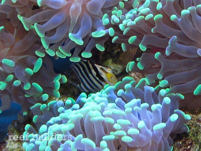 small-multibar-angelfish-3.jpg