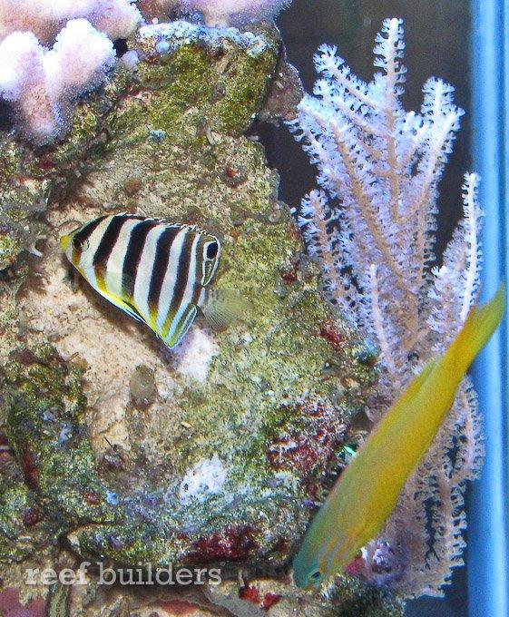 small-multibar-angelfish-4.jpg