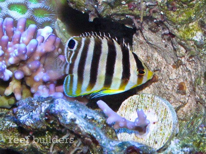small-multibar-angelfish-5.jpg
