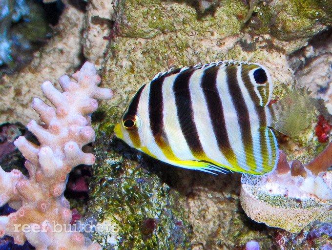 small-multibar-angelfish-6.jpg