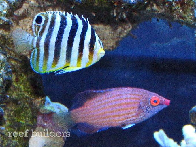 small-multibar-angelfish-7.jpg