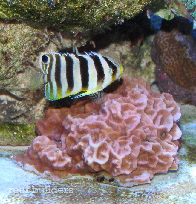small-multibar-angelfish-8.jpg