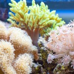 softcoral-1-150x150.jpg