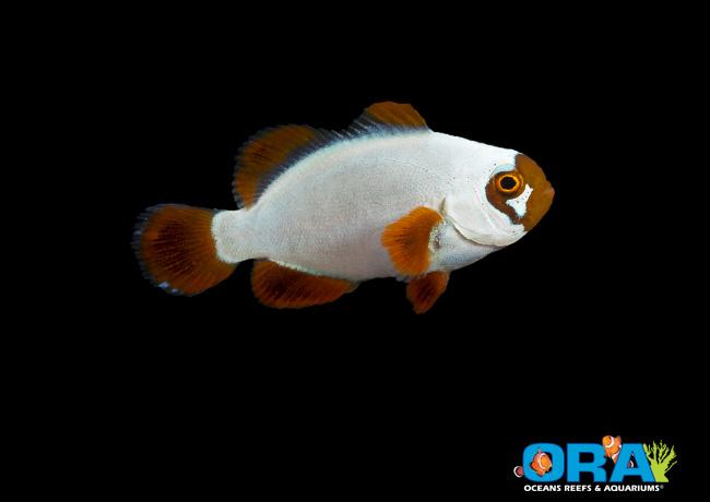 solid-gold-maroon-clownfish.jpg