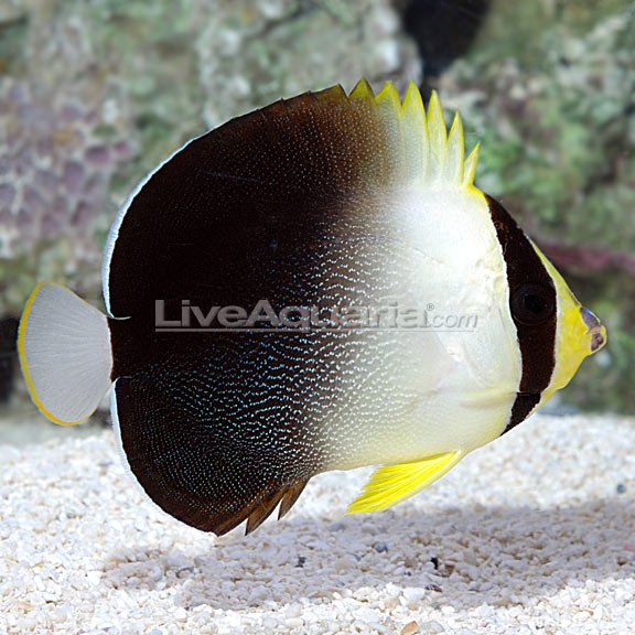 Solomon-Islands-Greytail-Poliourus-Angelfish.jpg