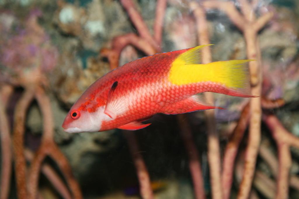 Spotfin_Hogfish_%28Bodianus_pulchellus%29.jpg