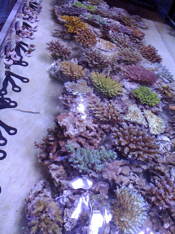 SPS-corals-frags.jpg