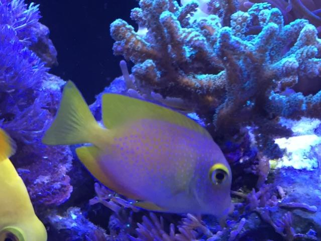 Square-tailed Bristletooth Tang 01.jpg