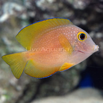 Square-tailed Bristletooth Tang.jpg