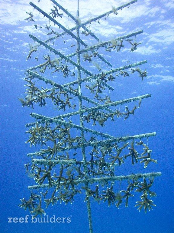 staghorn-coral-tree-nursery.jpg