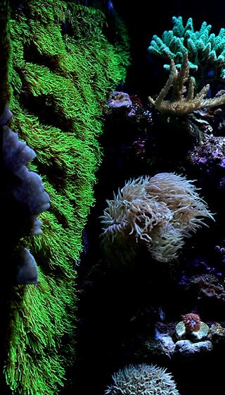 star-polyps.png