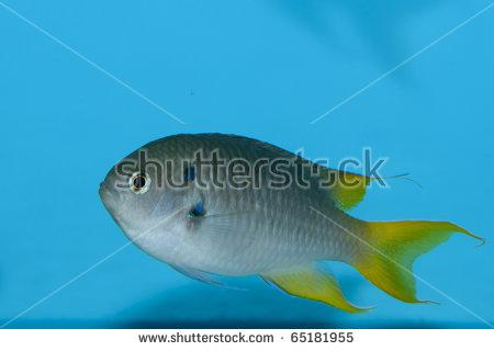 stock-photo-coral-demoiselle-fish-in-aquarium-65181955.jpg