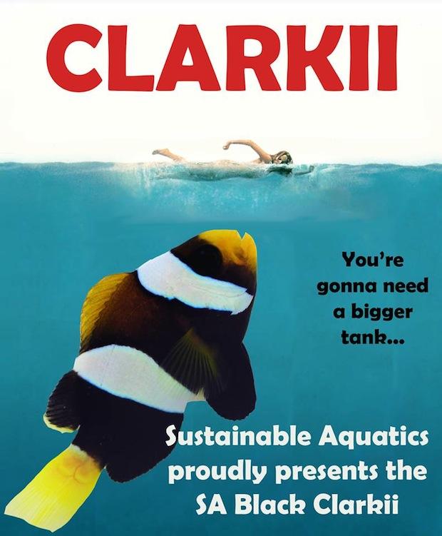 sustainable-black-clarkii-clownfish1.jpg