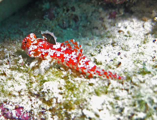 rss moyer s dragonet is a brilliant and little known species of