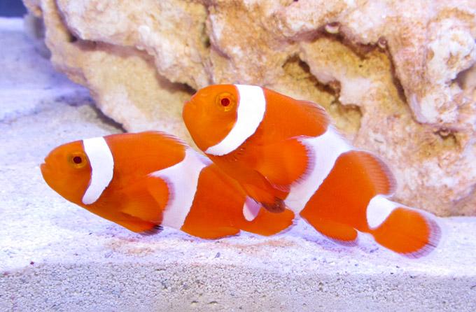tangerine-clownfish.jpg