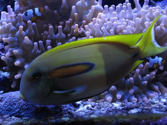 tangfish.jpg