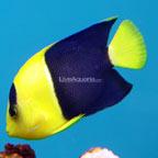 th-66024-Bicolor-Angelfish.jpg
