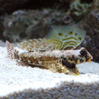 th-71900-Scooter-Blenny.jpg