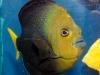 thumbs_blue-spot-angelfish.jpg