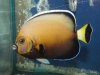 thumbs_conspicuous-angelfish.jpg