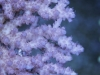 thumbs_dakkang-reef-coral-5.jpg