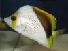 thumbs_declivis-butterflyfish.jpg