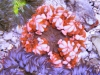 thumbs_flower-anemone-dreamsicle.jpg